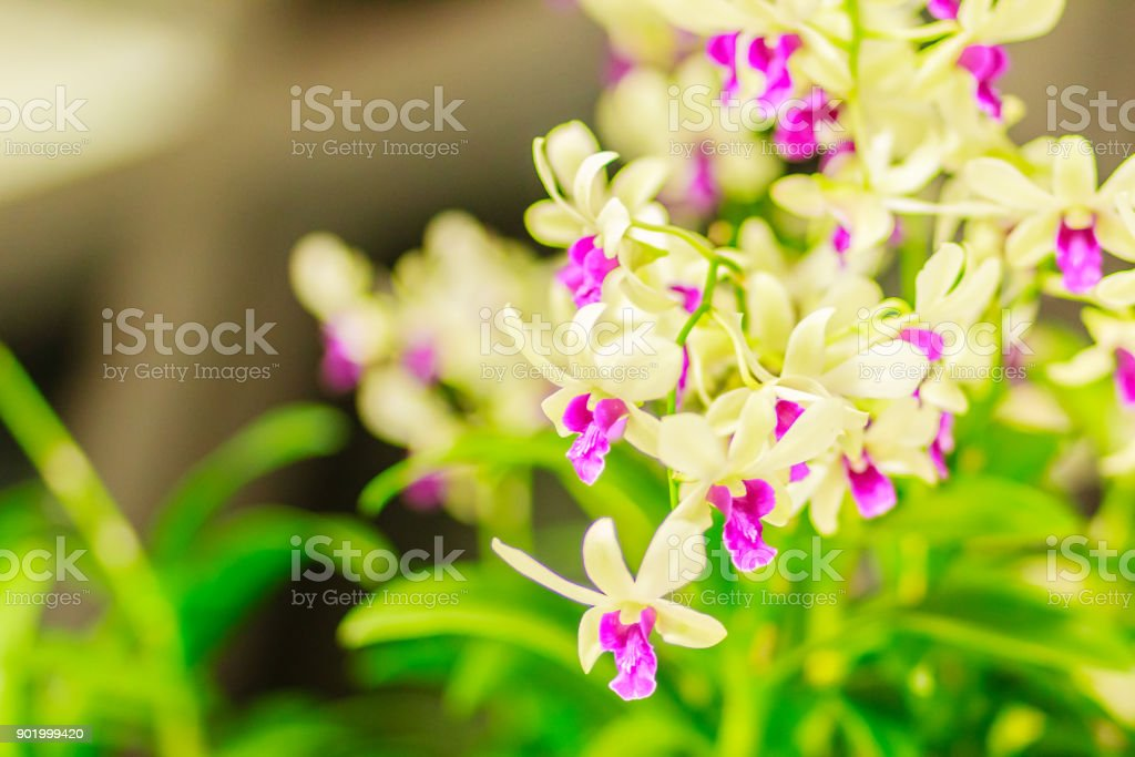 Beautiful decoration with Dendrobium orchid flower. Purple Dendrobium orchid flowers decorated in the building. stock photo
