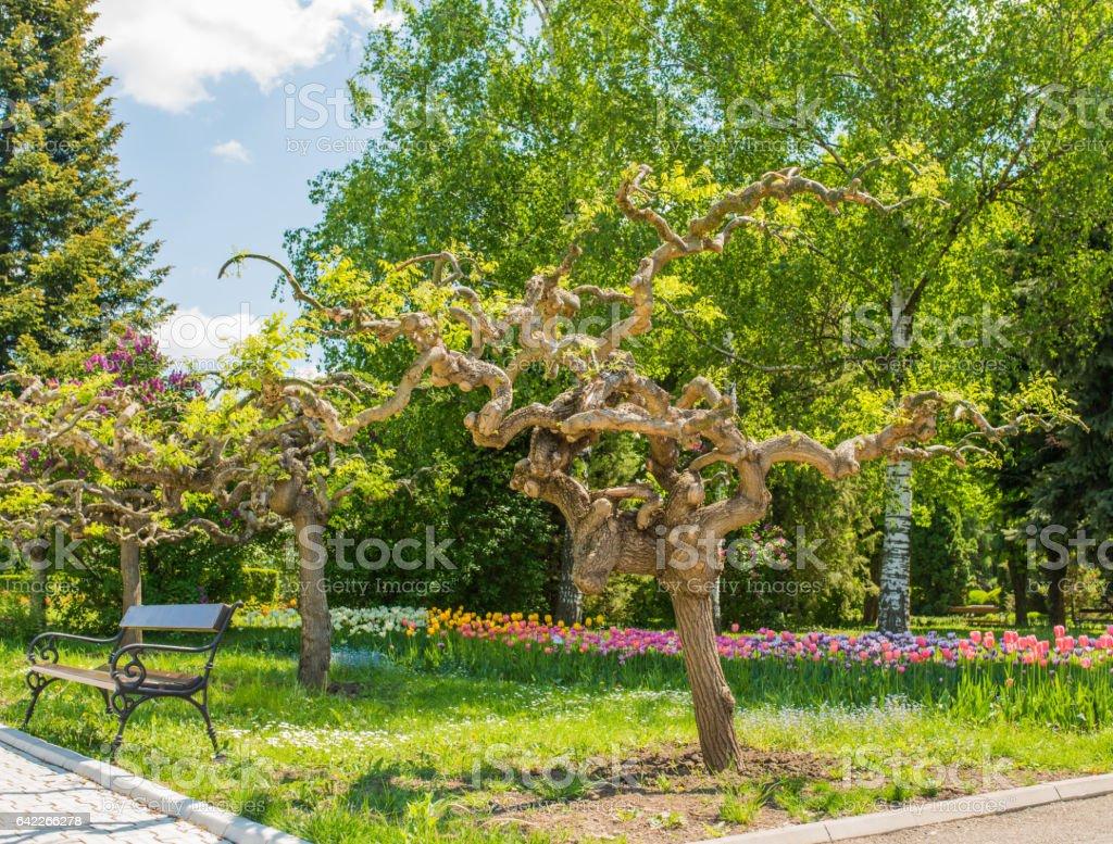 Beautiful decorative acacia trees stock photo