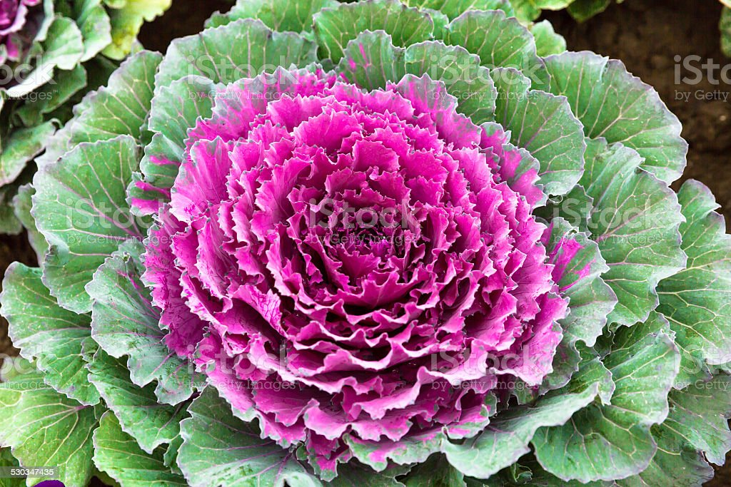 Beautiful decorative cabbage vegetable stock photo