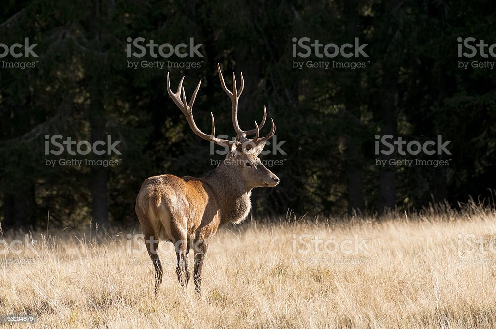 Beautiful deer in the clearing royalty-free stock photo