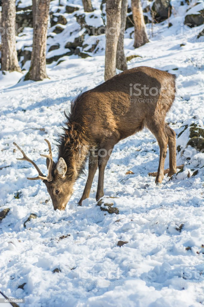 beautiful deer on snow land, young high deer looks at us. zbiór zdjęć royalty-free