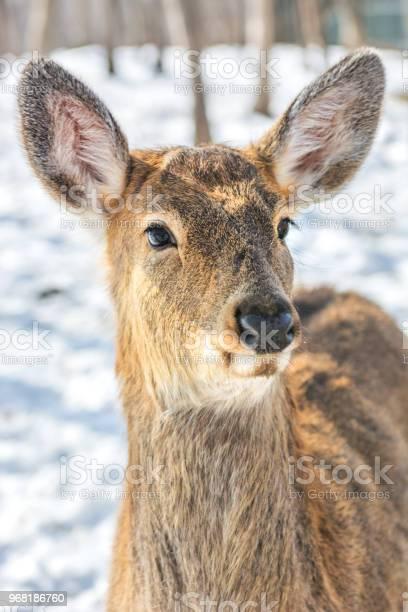 Beautiful deer on snow land young high deer looks at us picture id968186760?b=1&k=6&m=968186760&s=612x612&h=8w w3a yxm9qseocxodmoo crhhw7b e4gb7sdrbm7w=
