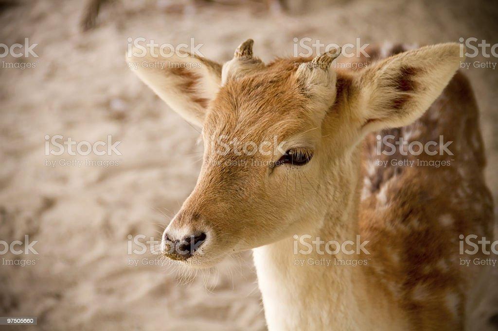 Beautiful Deer royalty-free stock photo