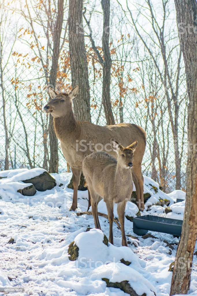 beautiful deer stand family in a snowy forest, a family of deer and fawns, royalty-free stock photo