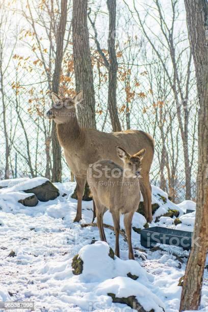 아름 다운 사슴 서 눈 덮인 숲에서 가족 사슴 및 마리의 가족 0명에 대한 스톡 사진 및 기타 이미지
