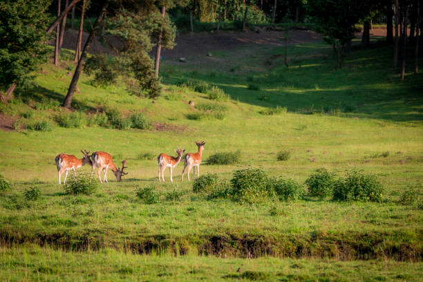 Beautiful deers in forest in summer, Poland, Europe stock photo