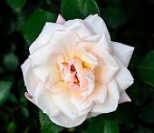 Beautiful delicate pale white creamy rose flower close up in the garden. Gentle floral background - wonderful tenderness, sensuality and elegance in nature