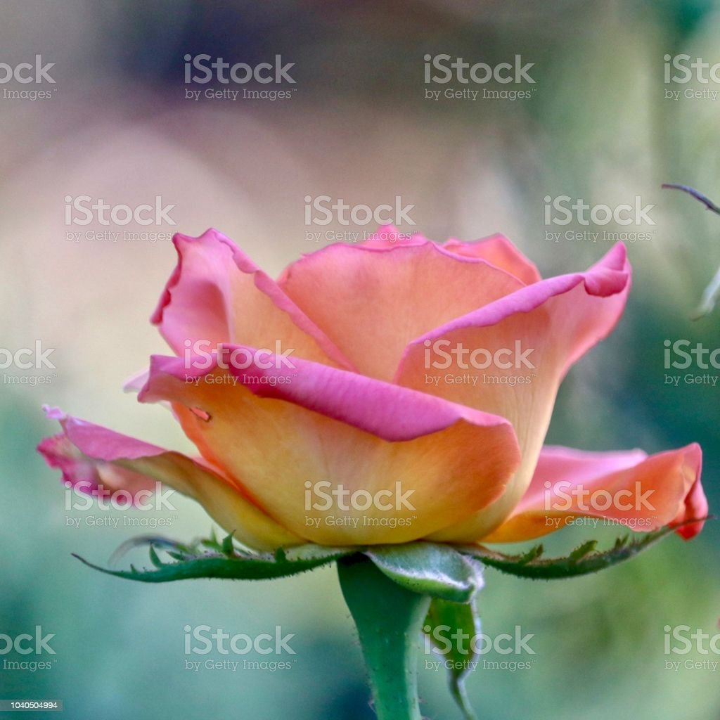 Beautiful, delicate pink and yellow rose, closeup stock photo