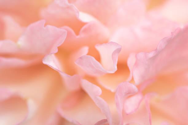 as pétalas delicadas bonitas da flor de rosa fecham-se acima. - feminidade - fotografias e filmes do acervo