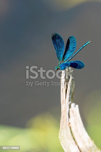 Beautiful Demoiselle (Calopteryx virgo) captured in Nature Reserve called Murnauer Moos, Germany