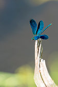 Calopteryx haemorrhoidalis from Llobregat river in Barcelona province during summer.