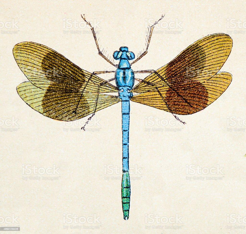 Beautiful demoiselle (Calopteryx virgo), insect animals antique illustration stock photo