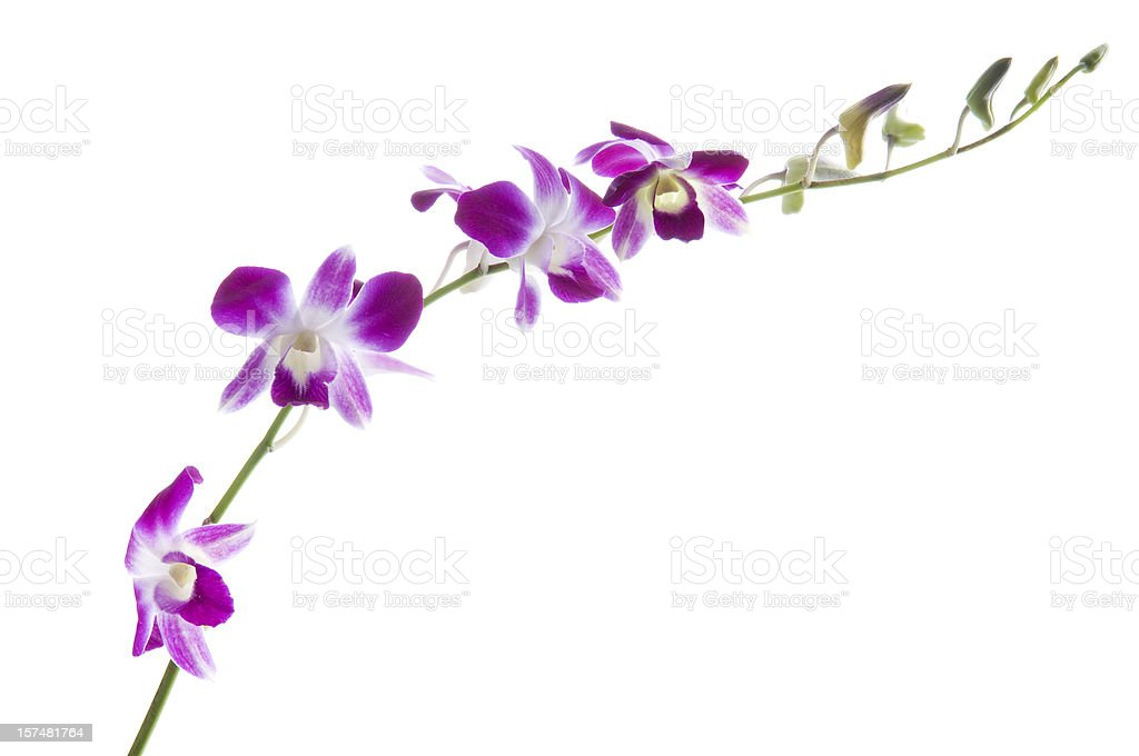 Beautiful dendrobium orchids on white royalty-free stock photo