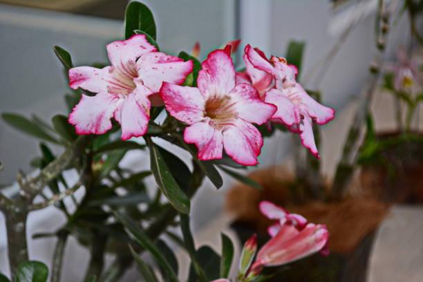 belle rose du désert (adenium obesum) - rose des sables photos et images de collection