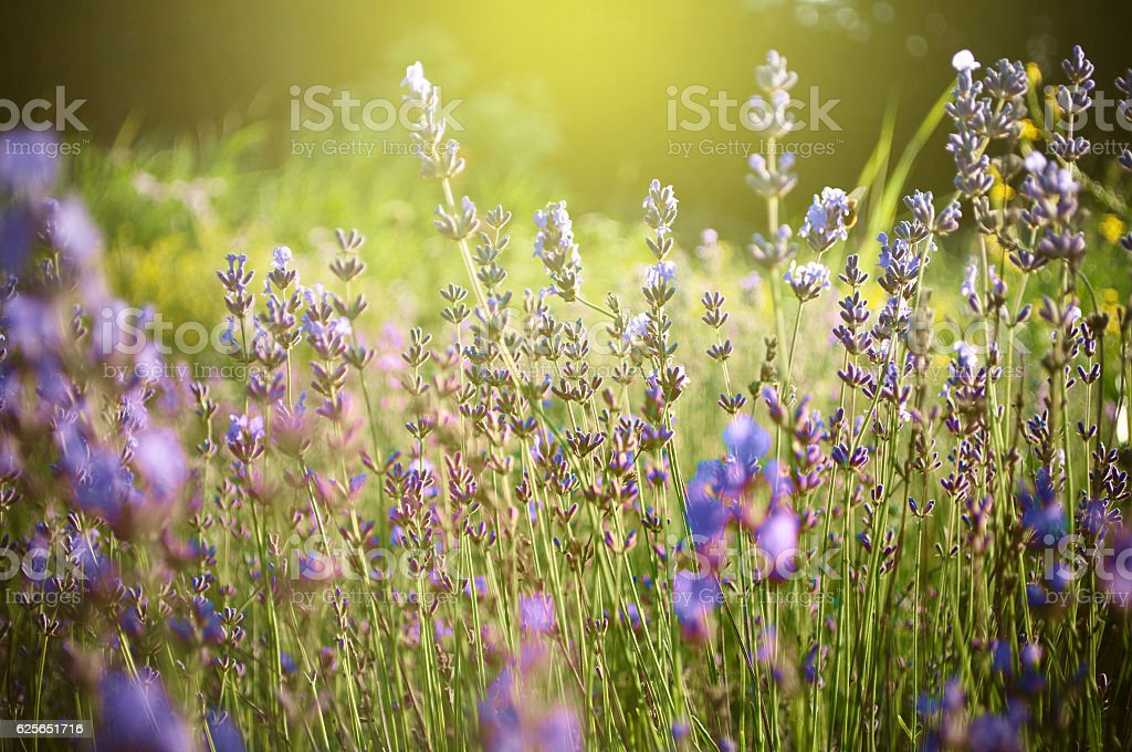 Beautiful detail of a lavender field under bright sun stock photo