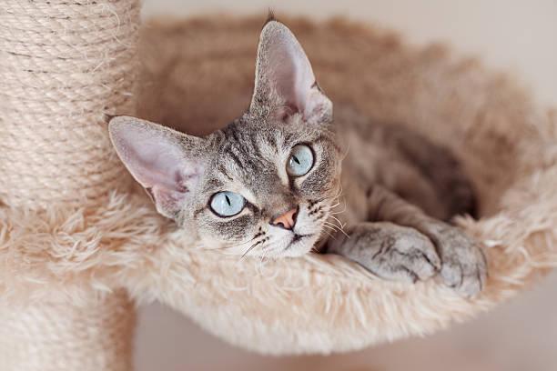Beautiful devon rex cat laying on hammock and chilling picture id467183149?b=1&k=6&m=467183149&s=612x612&w=0&h=dcou ycii0il5ymibdzdalknl i03tk9c2xcloh4s1c=