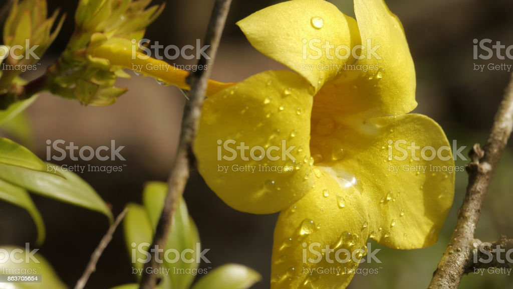 Beautiful dew on yellow trumpet flower stock photo
