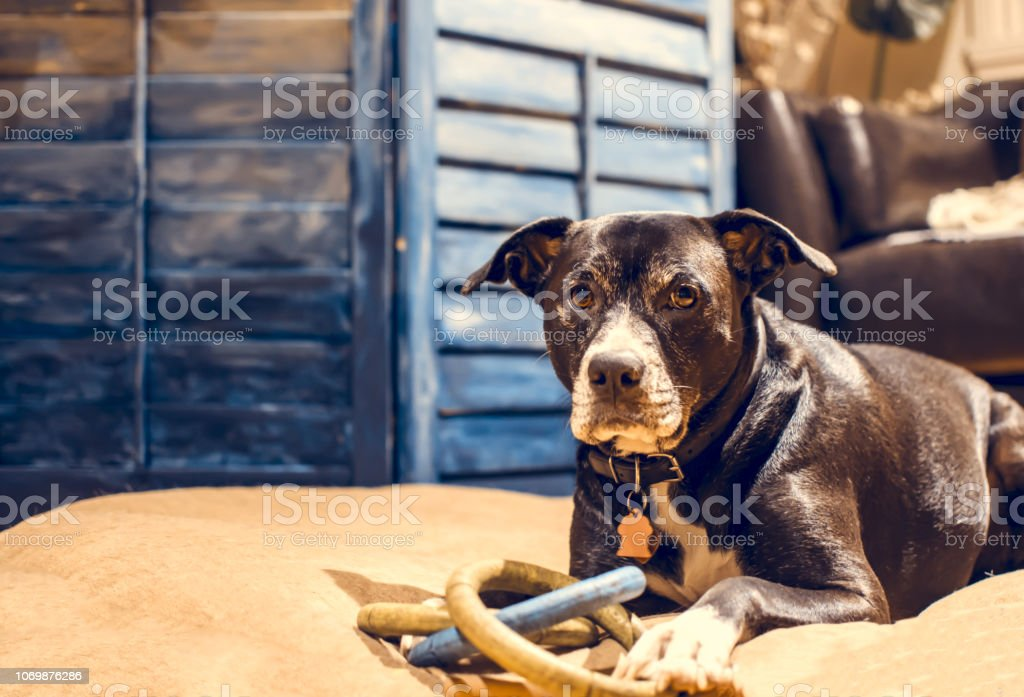 Beautiful dog at home indoors portrait with toy stock photo
