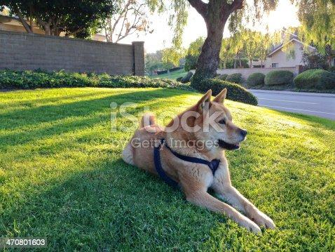 Beautiful dog (Jindo) at park