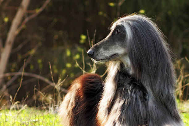 beautiful dog breed afghan lies in the summer on nature - lange zottige frisuren stock-fotos und bilder