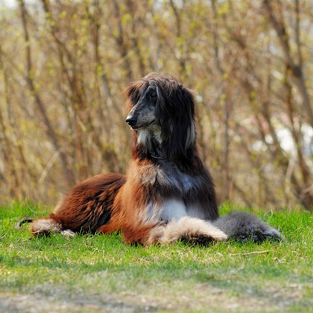 beautiful dog breed afghan lies in the summer outdoors - lange zottige frisuren stock-fotos und bilder