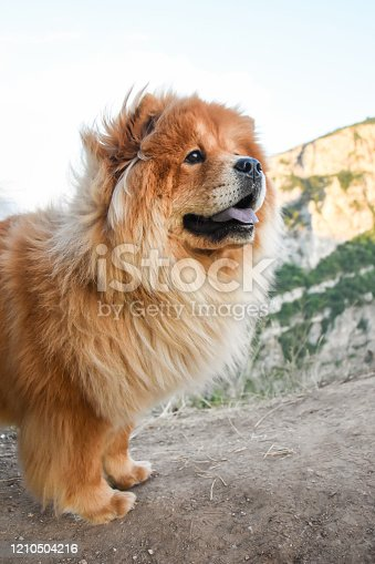 Purebred dog chow chow on mountain over the canyon