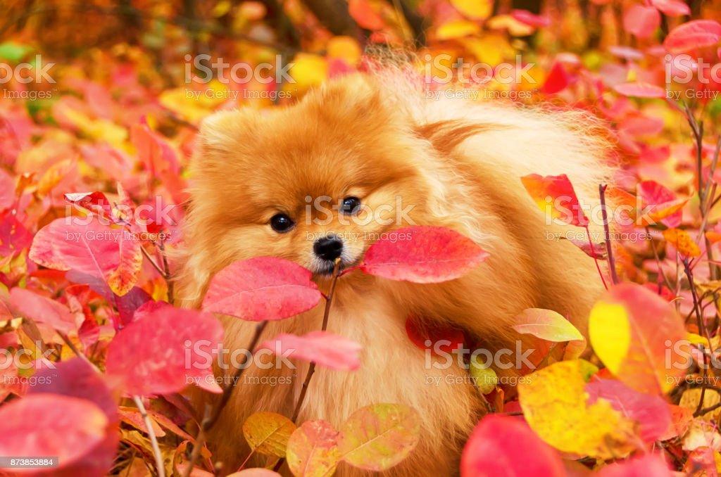 Beautiful dog in bright autumn leaves, pomeranian stock photo