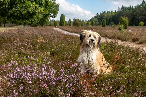 Beautiful dog in heath landscape