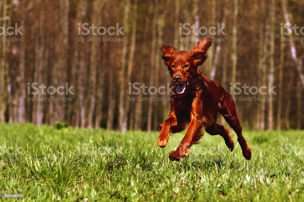 Beautiful dog Irish setter runs stock photo