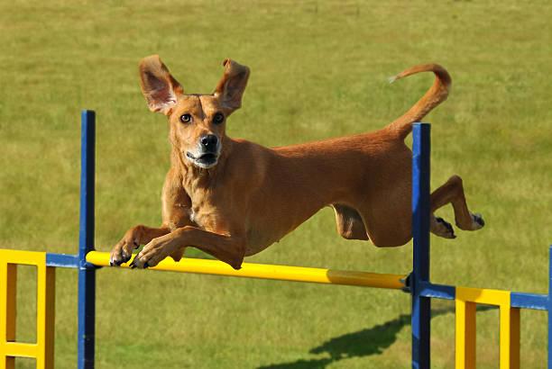 Beautiful dog jump picture id104466100?b=1&k=6&m=104466100&s=612x612&w=0&h=3h7vxfhy8voriychecubovcnldxfvy wiunvx9wtvby=