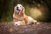 Beautiful golden retriever dog lying in the forest
