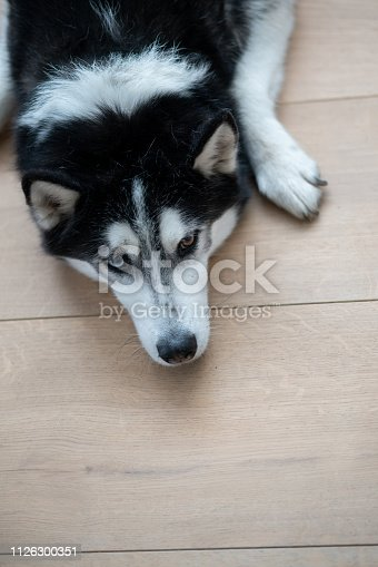 Beautiful Husky dog lying on the floor - animal concepts