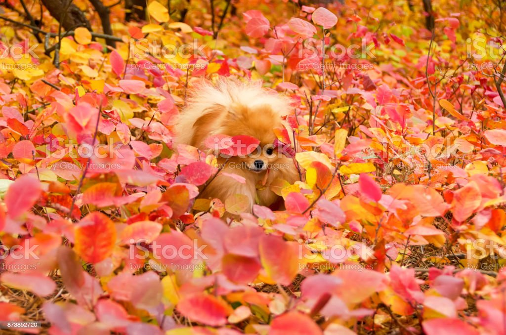 A beautiful dog makes its way through the bright brushwood, spitz stock photo