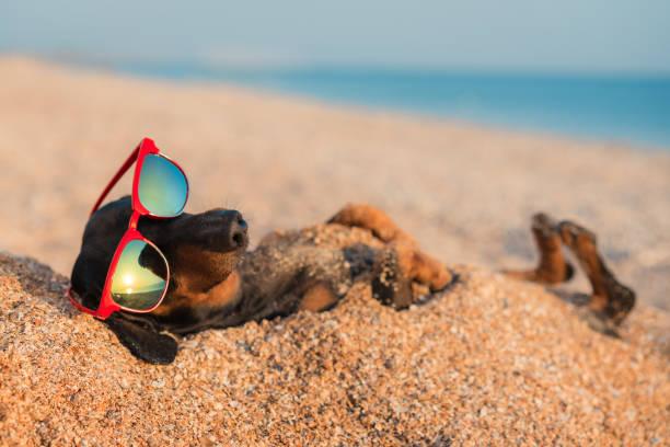 mooie hond van teckel, black and tan, begraven in het zand op het strand zee op de vakantie van de vakantie van de zomer, het dragen van rode zonnebril - strandvakantie stockfoto's en -beelden
