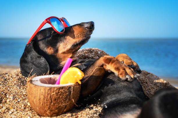 hermoso perro de dachshund, negro y bronceado, enterrado en la arena en el mar de la playa en las vacaciones de verano, usando gafas de sol rojas con cóctel de coco - verano fotografías e imágenes de stock