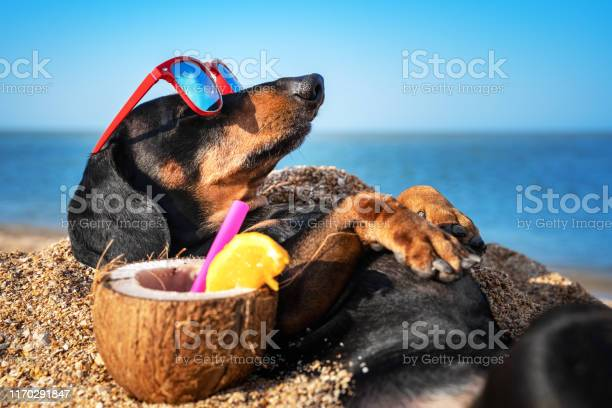 Photo of beautiful dog of dachshund, black and tan, buried in the sand at the beach sea on summer vacation holidays, wearing red sunglasses with coconut cocktail
