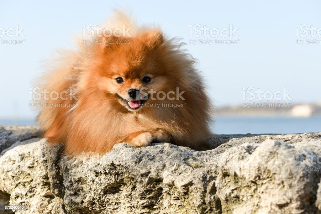 Beautiful dog, Pomeranian Spitz. Portrait of a red fluffy dog. stock photo