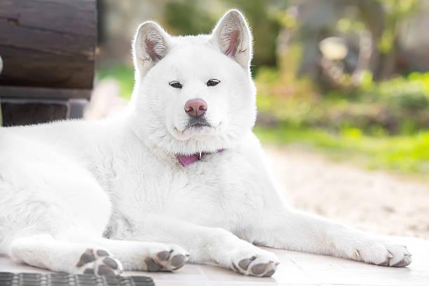 beautiful dog Portrait Akita ina , hachi stock photo