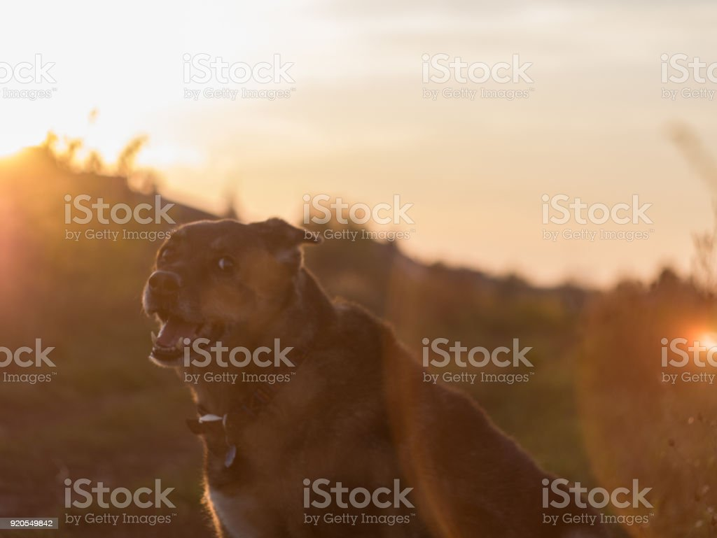 Beautiful dog portrait during the sunset. stock photo