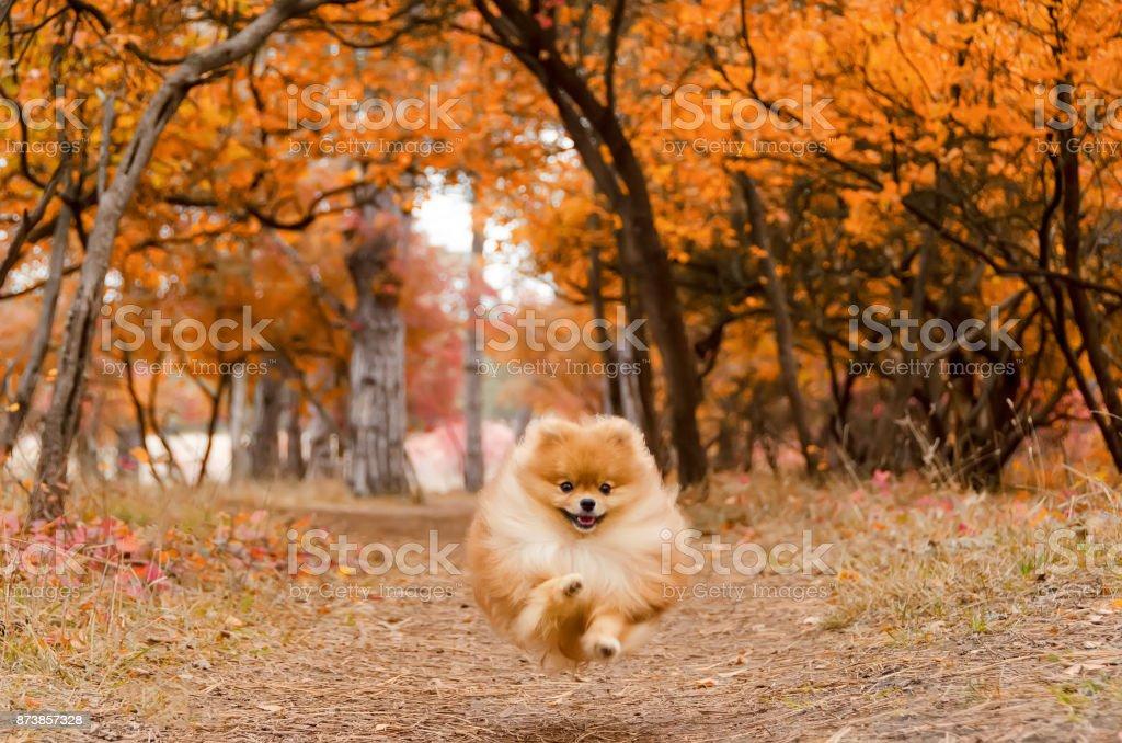 A beautiful dog runs through the bright autumn forest stock photo