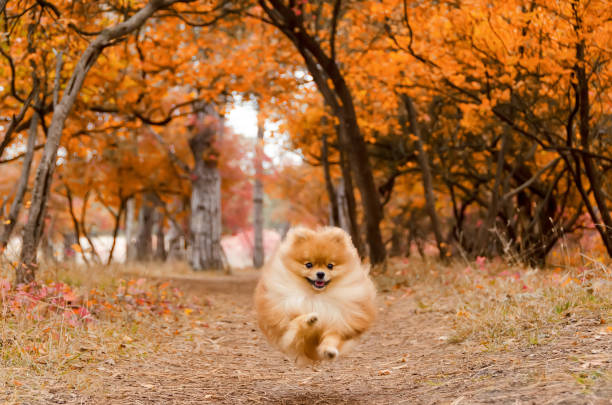 ein schöner hund zieht sich durch die hellen herbstwald - zwergspitz stock-fotos und bilder