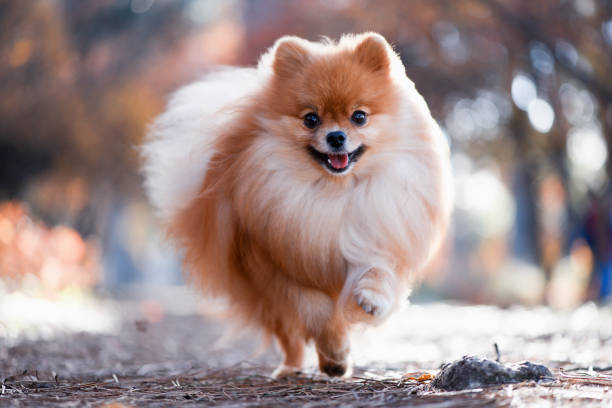 a beautiful dog runs through the bright autumn forest, the spitz - german culture stock pictures, royalty-free photos & images