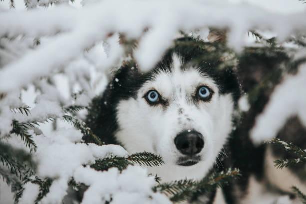 Schöner Hund sibirischen Husky in der Natur – Foto