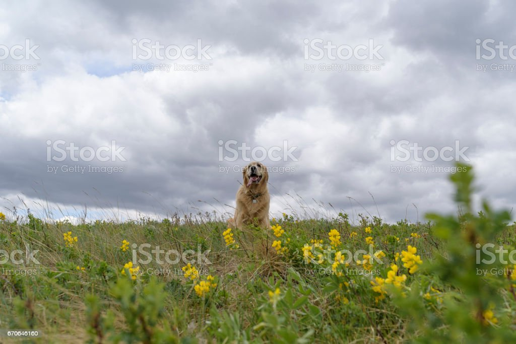 Beautiful Dog Smiling In A Field Of Wildflowers stock photo
