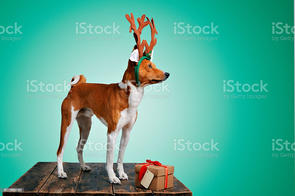 Beautiful dog wering christmas costumes stock photo