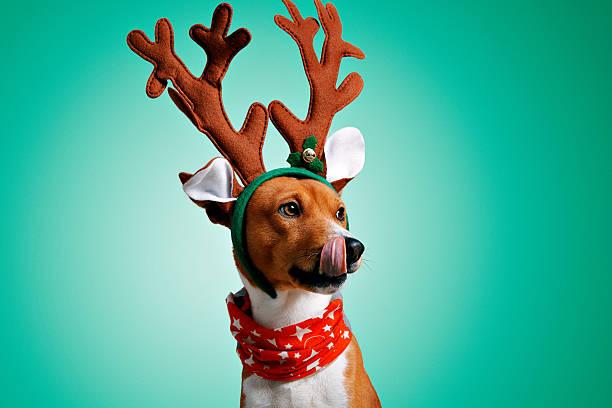 Beautiful dog wering christmas costumes stock photo