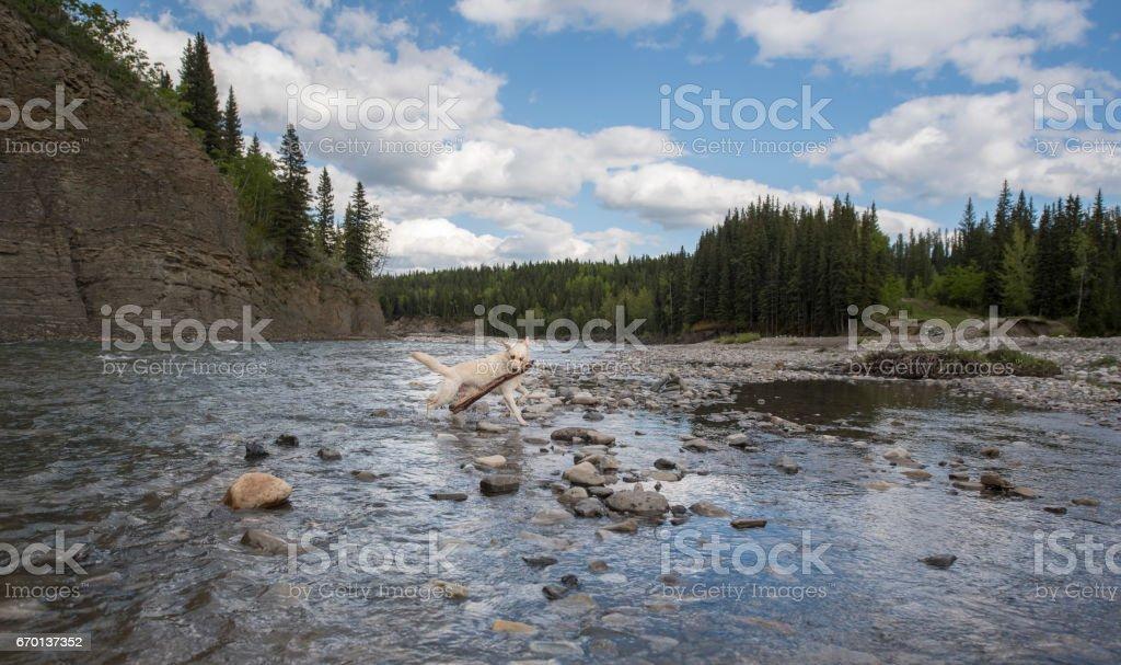 Beautiful Dog With Big Stick Running Through a Mountain Stream stock photo
