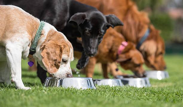 beautiful dogs eating - dog food imagens e fotografias de stock