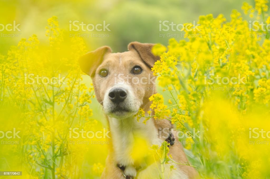 beautiful dogs in the yellow fields photo libre de droits