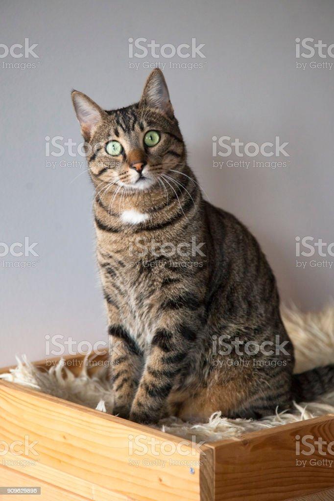 Schöne Domastic Katze in die Kamera schaut. – Foto